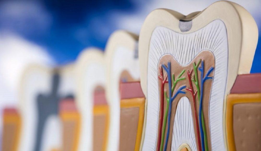 آناتومی دندان و انواع دندان
