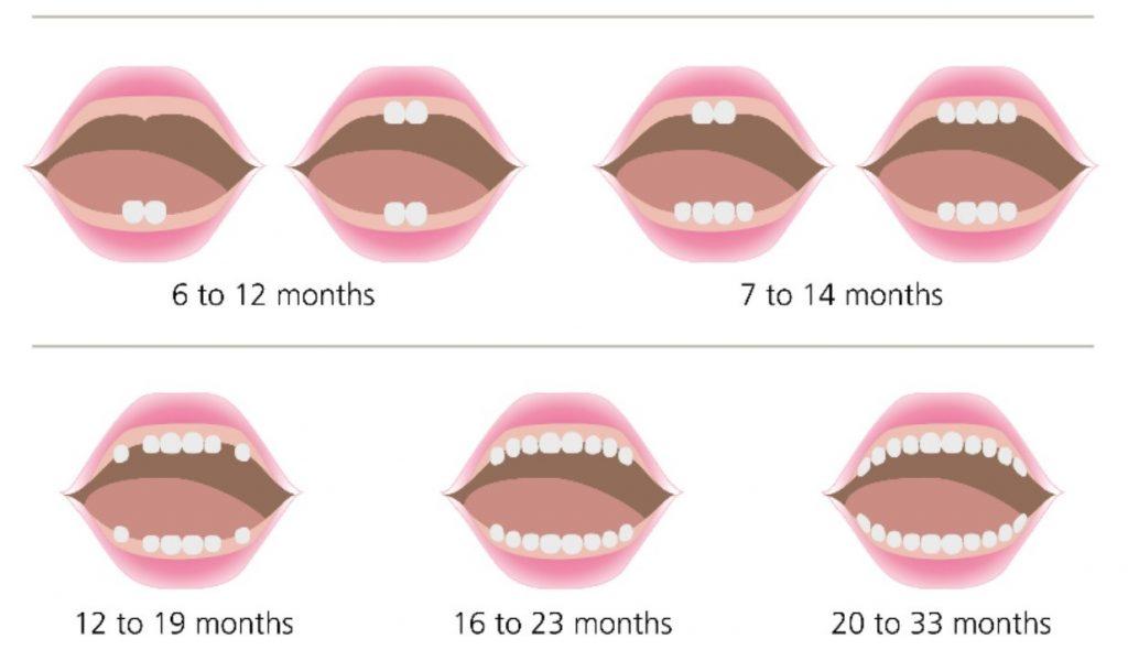 آناتومی دندان و آشنایی با انواع دندان