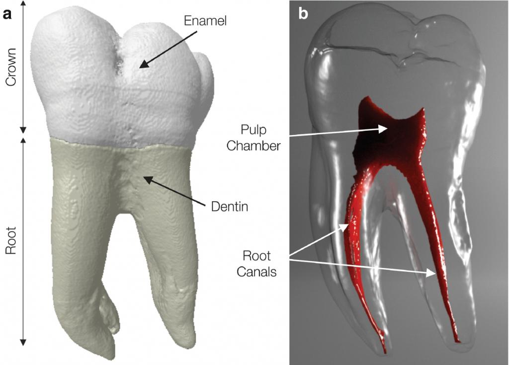 ساختار و آناتومی دندان